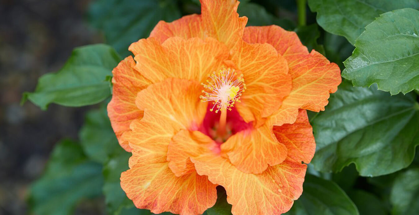 Growers of award winning hibiscus plants hollywood hibiscus slider1 izmirmasajfo