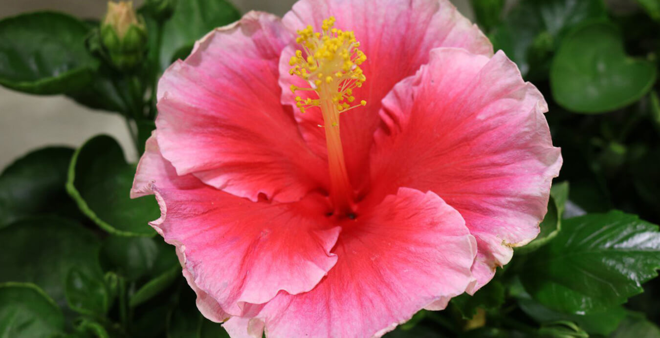 Growers Of Award Winning Hibiscus Plants Hollywood Hibiscus