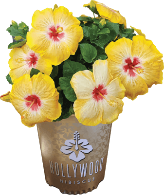 An Award Winning Tropical Hibiscus Collection Hollywood Hibiscus