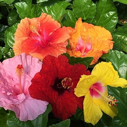 <span>Bloom Bash™ Hollywood™ Hibiscus</span>