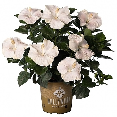 <span>Earth Angel Hollywood™ Hibiscus</span>