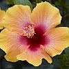 <span>Social Butterfly™ Hollywood™ Hibiscus</span>