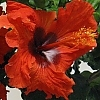 <span>Firecracker™ Hollywood™ Hibiscus</span>