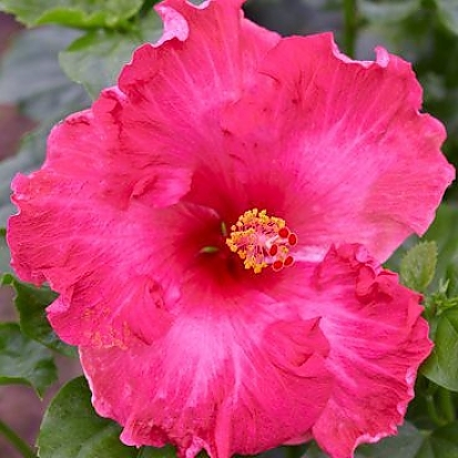 Hollywood™ Hibiscus Glamour Gal™ ppaf