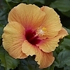 <span>Gossip Queen™ Hollywood™ Hibiscus</span>