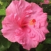<span>Jolly Polly™ Hollywood™ Hibiscus</span>