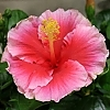 <span> Runway Beauty™ Hollywood™ Hibiscus</span>