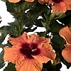 <span>Disco Diva™ Hollywood™ Hibiscus </span>