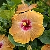 <span>Gold Digger™ Hollywood™ Hibiscus</span>