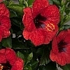 <span>Hot Shot™ Hollywood™ Hibiscus</span>