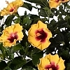 <span>Rico Suave™ Hollywood™ Hibiscus</span>