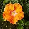 <span>Party Crasher™ Hollywood™ Hibiscus</span>
